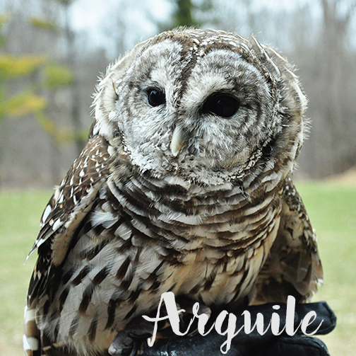 Barred Owl at Stage Nature Center