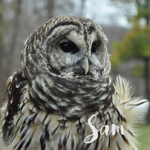 Sam | Barred Owl